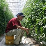 「トマト栽培に興味があるのでこの研修を生かしたい」とトマトの手入れに励む平野さん